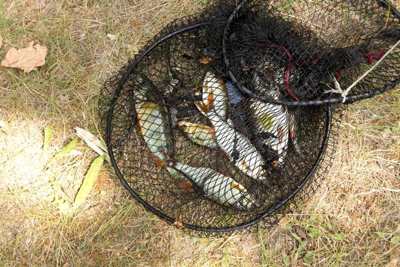 Fishing concept. Freshwater fish in the cage. Catch, river, lake, animal, trophy, leisure, bream, net, nature, outdoor, sport, big, bag, angling, natural, carp stock photo