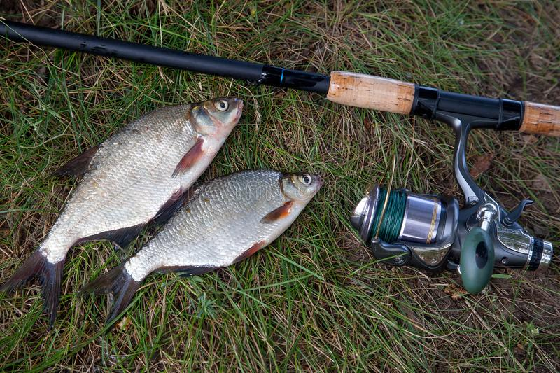 Single freshwater white bream or silver bream, bronze bream or c stock photography