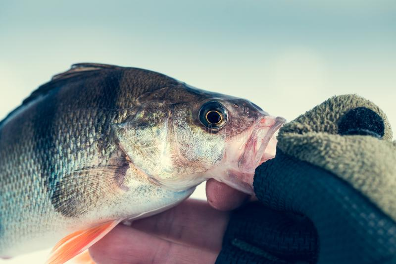 Fishing. Fisherman holds big perch fish royalty free stock photography