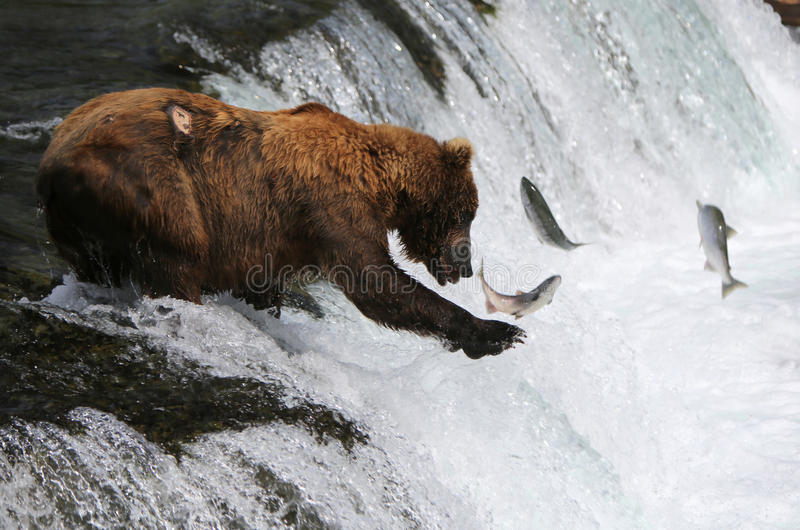 Fishing Grizzly bear stock photography