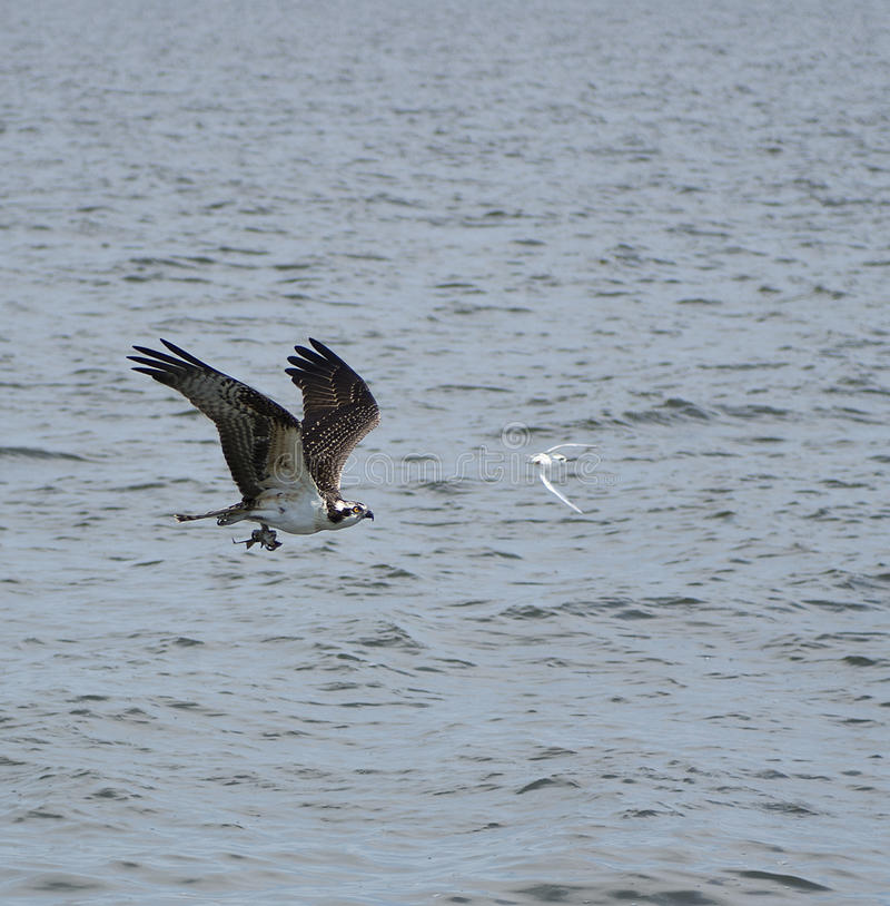 Fishing hawk stock photo