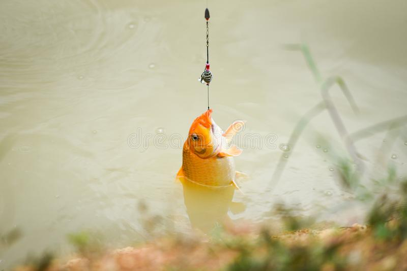 Fishing hook on the river - Sports fly fishing fisherman pulling off spinner close up shot of a fish hook underwater - Golden carp royalty free stock image