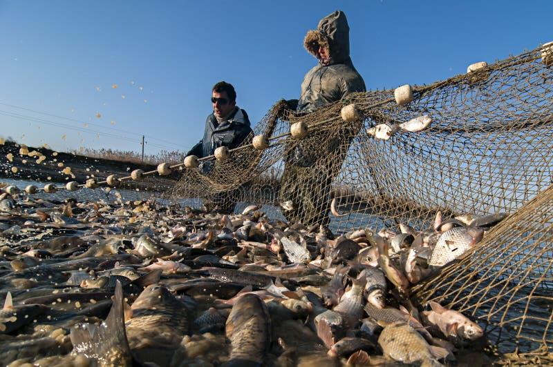 Fishing Industry. Neuzin-Serbia. November 30Th 2016. Fishermen hauled fish from the artificial lake. Daily get away around 20 tons of fish. Belgrade Serbia stock photo