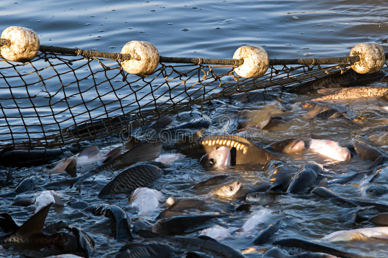 Fishing Industry. Neuzin-Serbia. November 30Th 2016. Fishermen hauled fish from the artificial lake. Daily get away around 20 tons of fish. Belgrade Serbia stock photography