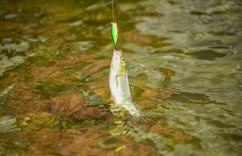 Fishing lake river freshwater. Good catch. Fly fishing. Fish on hook. Catch me if you can. Fish hook bait. Fishing stock photo