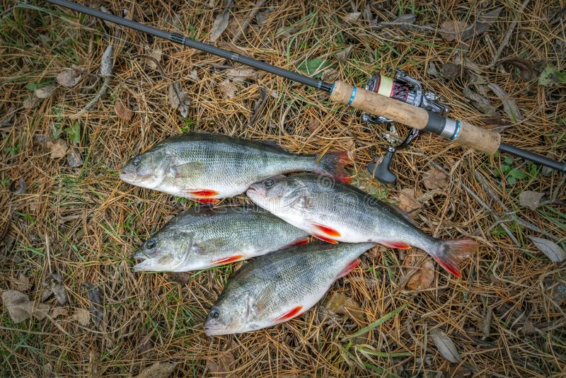 Fishing. Perch fish trophies and tackle on ground stock image