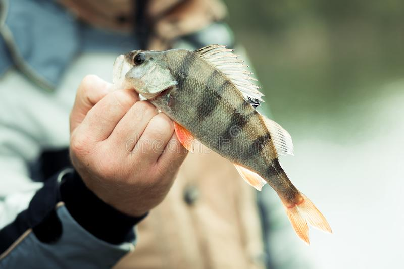 Fishing. Perch in hand on a background of water on a Sunny autumn day royalty free stock photography