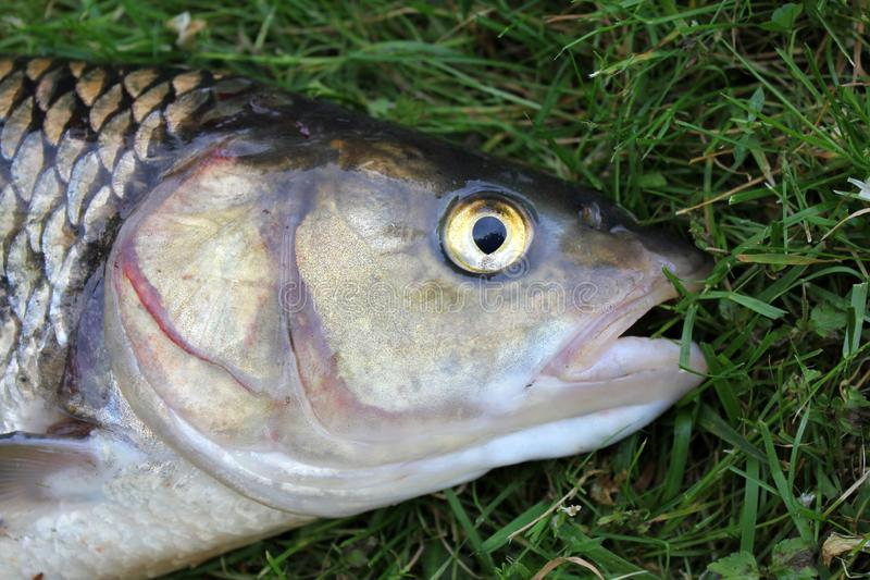 Close-ups on the head of a huge chub caught in a river. Fishing prey. Fishing prey. Close-ups on the head of a huge chub caught in a river stock photography