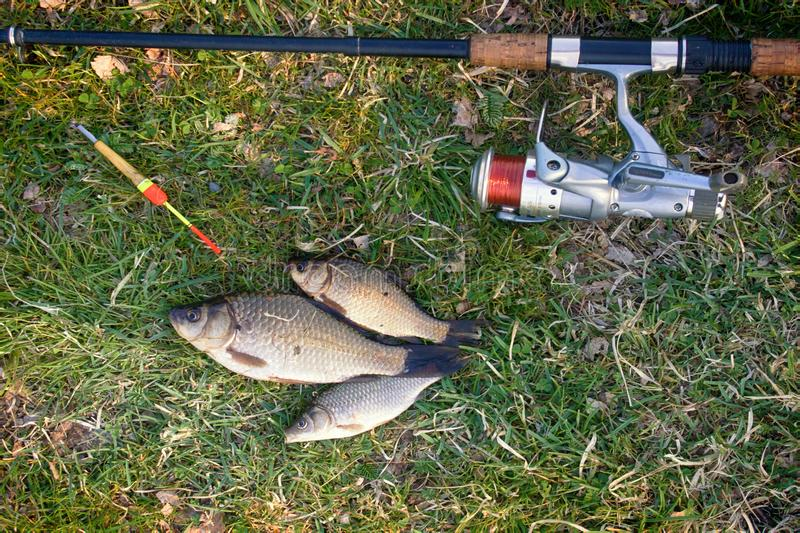 Fishing for Prussian carp. Fishing for white carp, Prussian carp, crucian carp in north ponds. Fish medium and small, coarse fish; nuisance animals stock photography