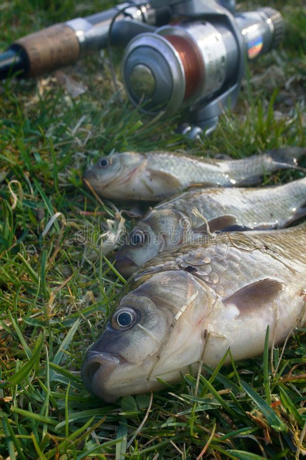 Fishing for Prussian carp. Fishing for white carp, Prussian carp, crucian carp in north ponds. Fish medium and small, coarse fish; nuisance animals royalty free stock photo