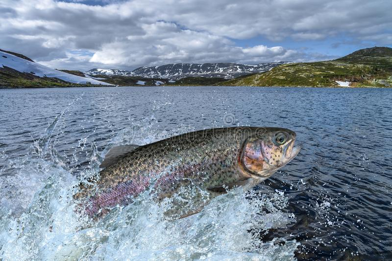 Trout fish jumping with splashing in water stock photography