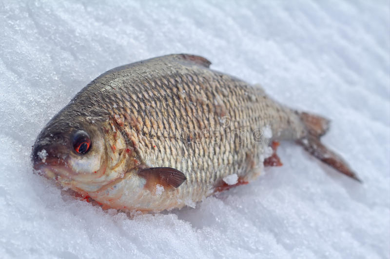 Fishing for roach in the winter on ice stock photography