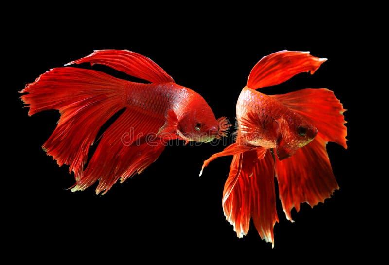 FishRosetail de combat siamois de couleur rouge, poisson de combat, splendens de Betta, sur le fond noir, Betta Fancy Koi Half Mo photo stock