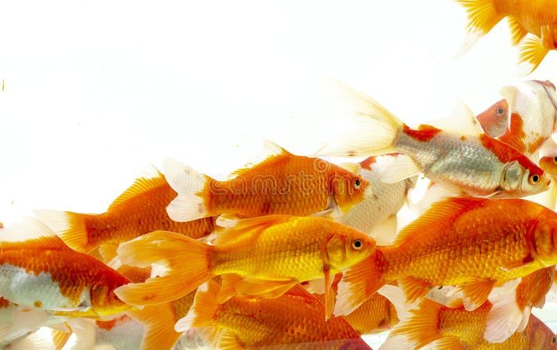 Fishs de carpe de poissons de Koi se d?pla?ant ? l'arri?re-plan blanc d'?tang photos libres de droits