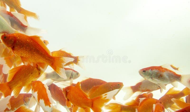 Fishs de carpe de poissons de Koi se d?pla?ant ? l'arri?re-plan blanc d'?tang image stock