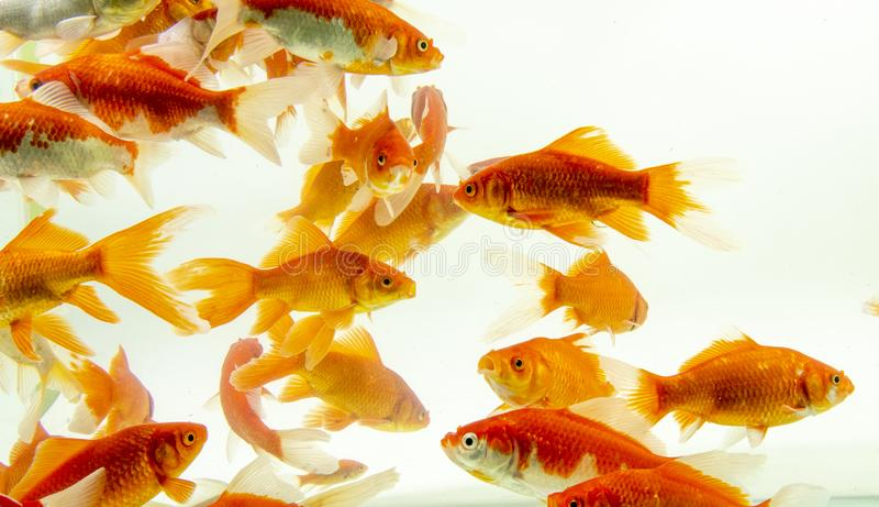 Fishs de carpe de poissons de Koi se d?pla?ant ? l'arri?re-plan blanc d'?tang photo stock