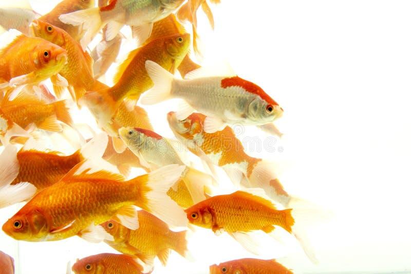 Fishs de carpe de poissons de Koi se d?pla?ant ? l'arri?re-plan blanc d'?tang photographie stock