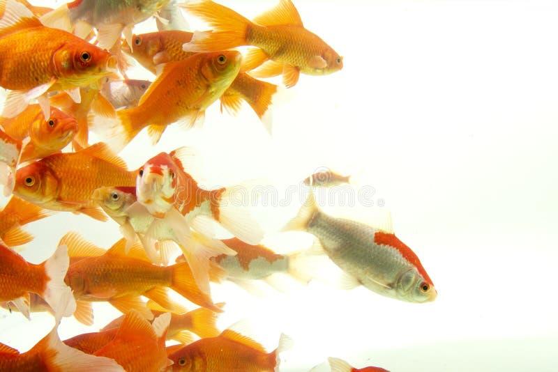 Fishs de carpe de poissons de Koi se d?pla?ant ? l'arri?re-plan blanc d'?tang images stock