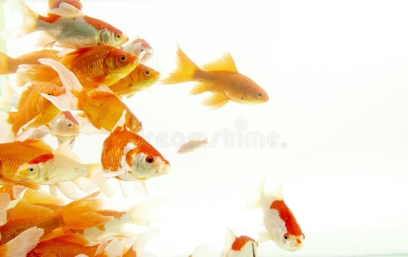 Fishs de carpe de poissons de Koi se d?pla?ant ? l'arri?re-plan blanc d'?tang images libres de droits