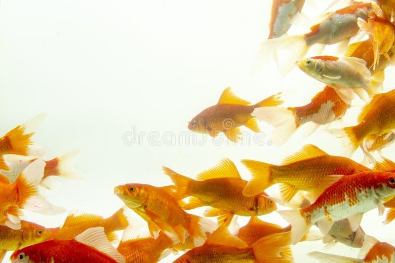 Fishs de carpe de poissons de Koi se d?pla?ant ? l'arri?re-plan blanc d'?tang photos stock