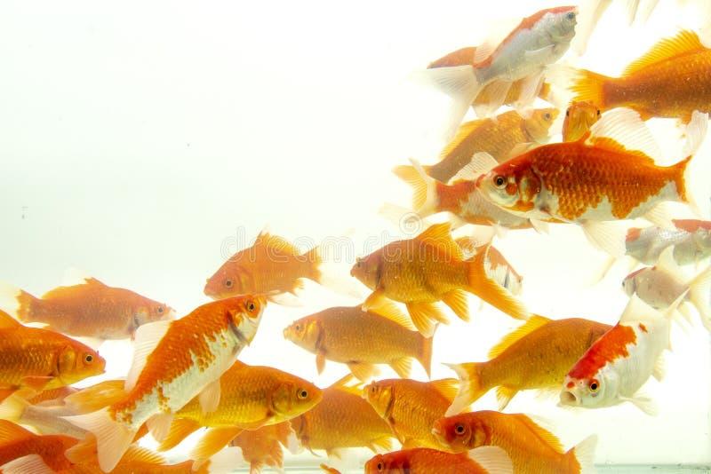 Fishs de carpe de poissons de Koi se d?pla?ant ? l'arri?re-plan blanc d'?tang image libre de droits