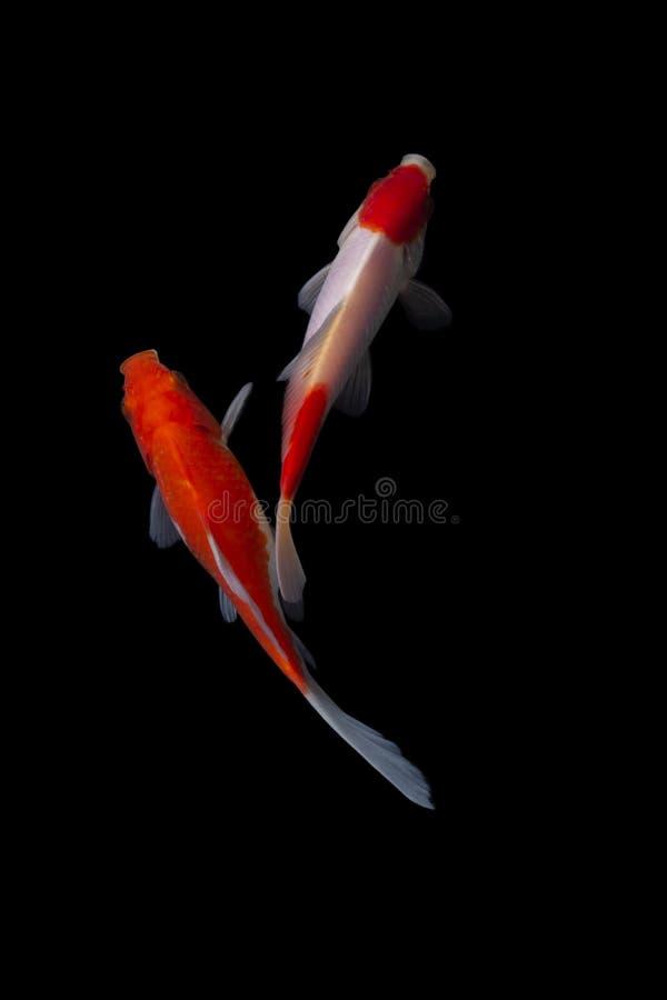 Fishs de carpe de poissons de Koi se d?pla?ant ? l'arri?re-plan de noir d'?tang images stock