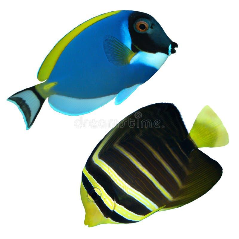 Fishs tropicales del filón aislados imágenes de archivo libres de regalías