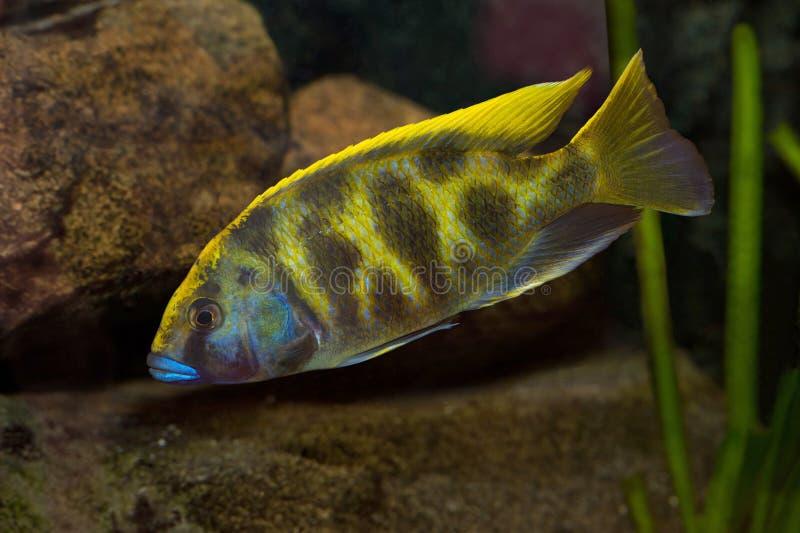 fishtank nimbochromis venustus 免版税库存照片