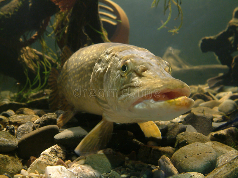 Download Fishy! stock image. Image of scales, water, river, pike - 14417