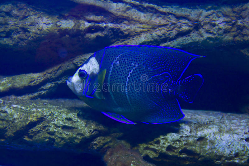 Fisk-ängel (fisk-kejsare) arkivbild