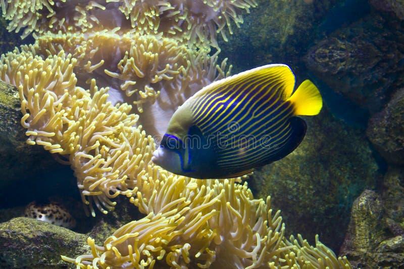 Fisk-ängel (fisk-kejsare) och actinia royaltyfria foton