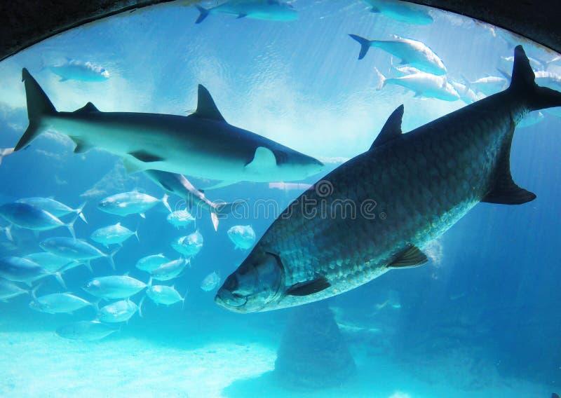Fisk-öga lins: Många simma fiskar och hajar arkivfoton