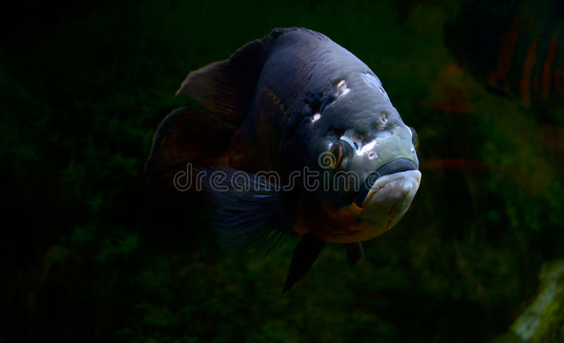 Fisk av en utsmyckad färg royaltyfria bilder