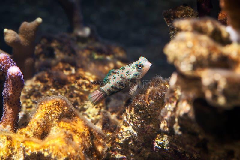 Fisk Den Dragonet mandarinfishen (den Synchiropus splendidusen) simmar över fotografering för bildbyråer