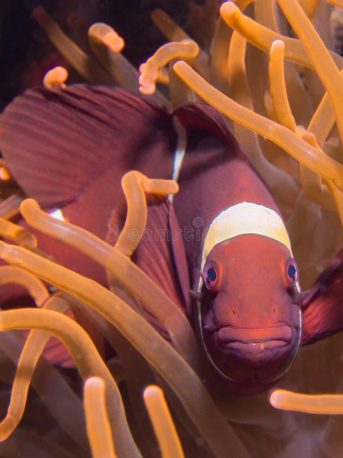 Fisk för inbindningskindanemon royaltyfri fotografi