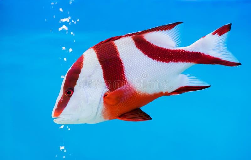 Fisk för röda snapper för kejsare på blå bakgrund royaltyfri foto