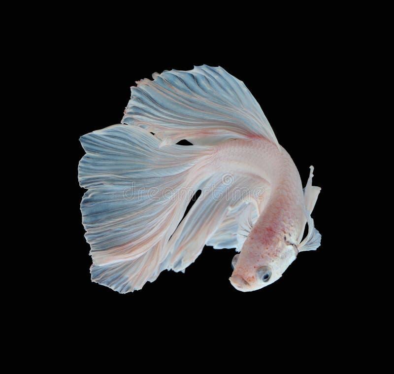 Fisk för stridighet för härlig vit Platt platina Siamese Vita siam royaltyfri foto