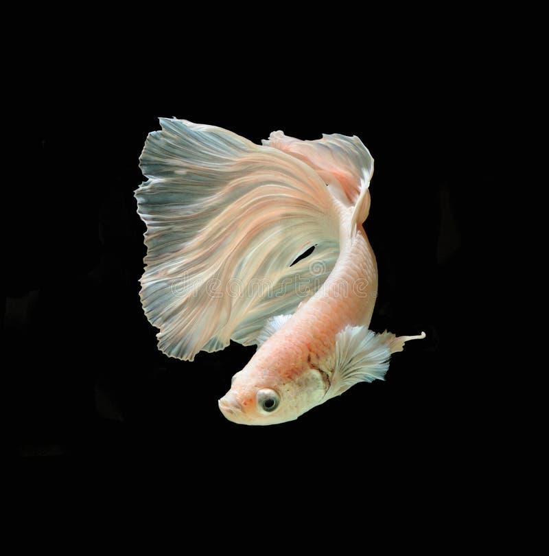 Fisk för stridighet för vit Platt platina Siamese Vit siamese fighti royaltyfri fotografi