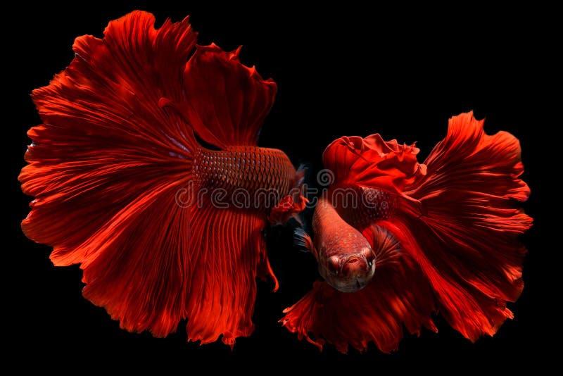 Fisk för utsmyckad röd Betta eller Saimese stridighet arkivbild