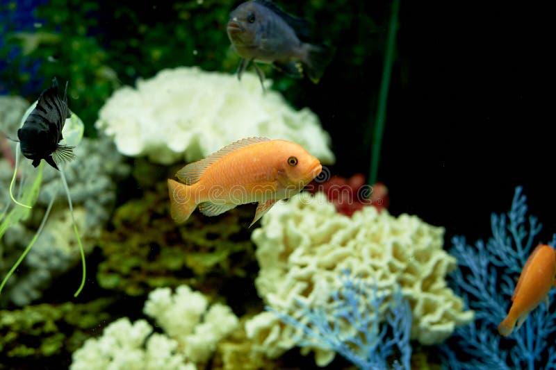 Fisk i akvariet, blått vatten Drömmar av havet utgångspunkten kopplar av fotografering för bildbyråer