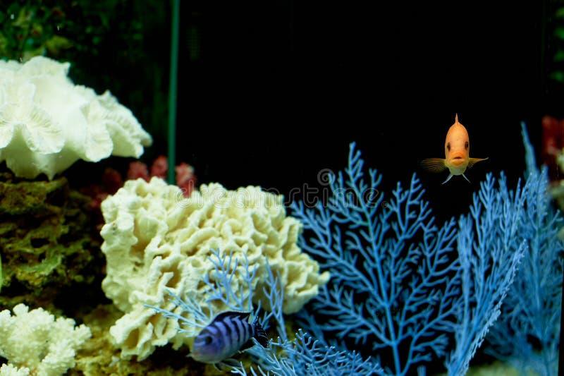 Fisk i akvariet, blått vatten Drömmar av havet utgångspunkten kopplar av royaltyfria bilder