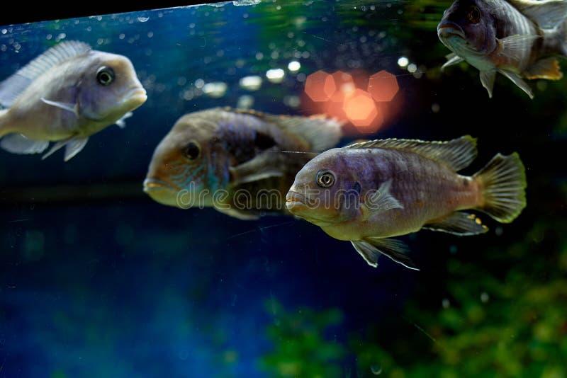Fisk i akvariet, blått vatten Drömmar av havet utgångspunkten kopplar av royaltyfria foton