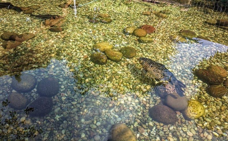 Fisk i det klara dammet royaltyfri fotografi