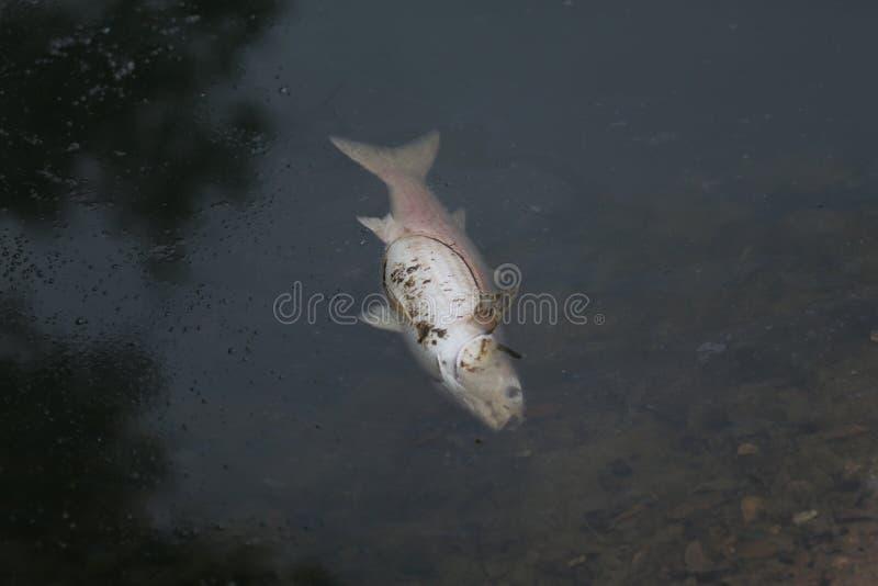 Fisk i en förorenad sjö arkivbild