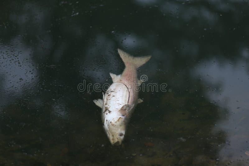 Fisk i en förorenad sjö royaltyfri bild