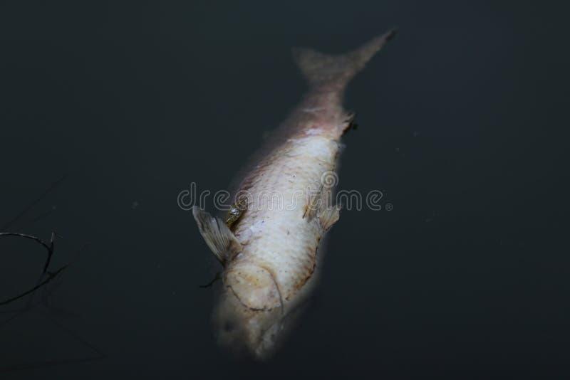Fisk i en förorenad sjö royaltyfria foton