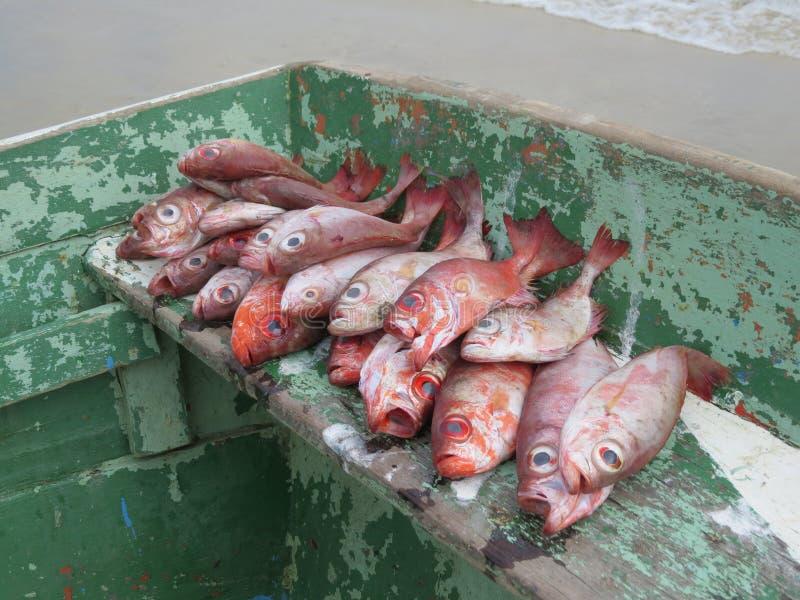 Fisk med det gröna fartyget för stora röda ögon arkivfoton