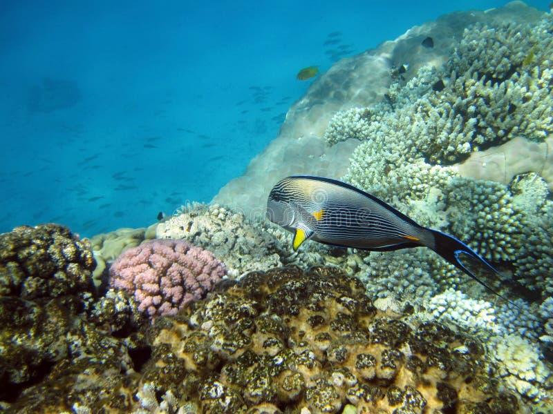 Fisk och korallrev arkivbilder