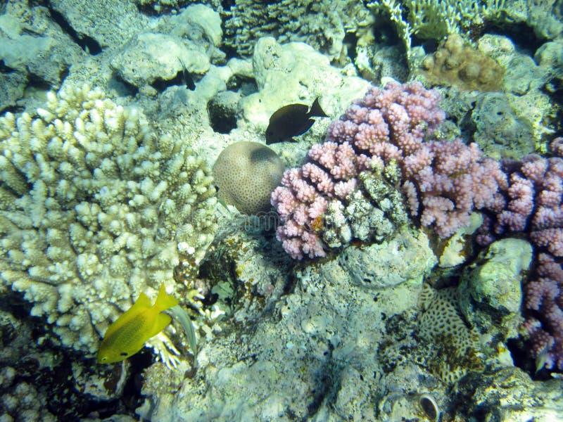 Fisk och korallrev arkivfoto