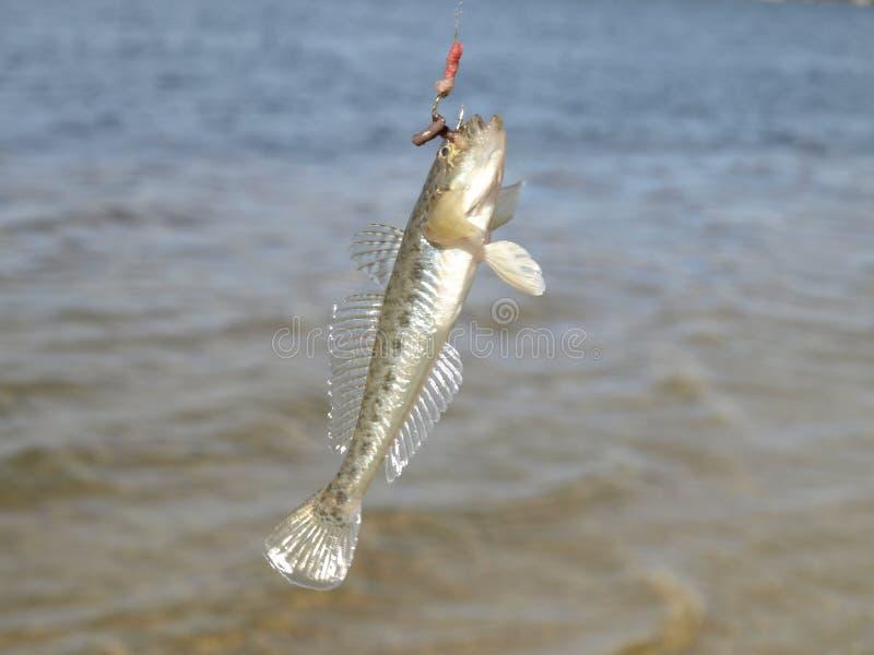 fisk på kroken royaltyfri bild